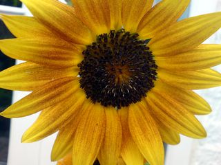 Sunflower_edited
