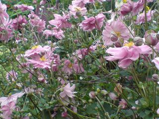 Anenomes at Chirk castle