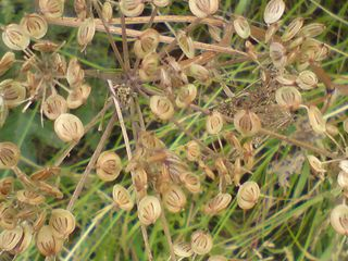 Brown seeds
