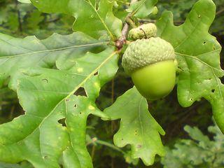 Giant acorns 1