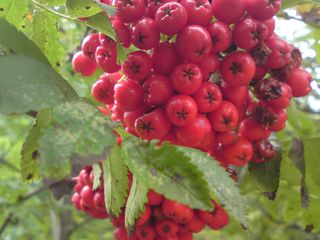 Berries on the rowan