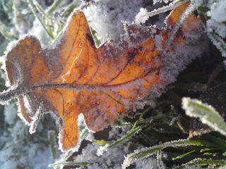 Icy oak leaf